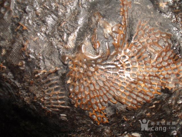 四亿年前志留纪窗格苔藓虫化石21公分