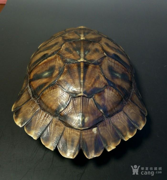 老乌龟壳图片